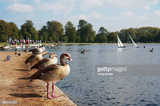 birds in hyde park, london, england - hyde park london stock pictures, royalty-free photos & images
