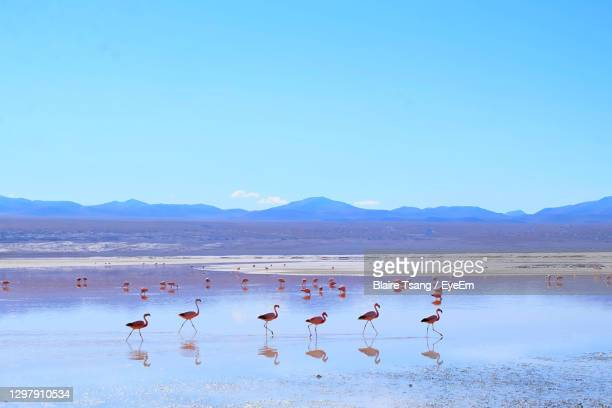 birds in lake against clear blue sky - bolivia stock pictures, royalty-free photos & images