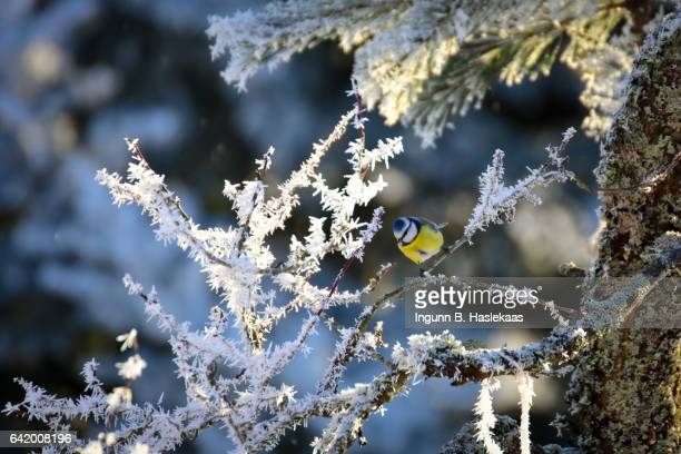 Birds in the garden during winter. Blue tit sitting in a frosted tree in cold and snowy weather.