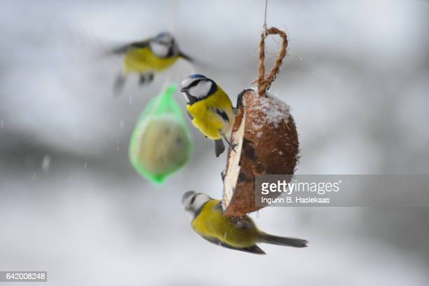 Birds in the garden during winter. Three Blue tit in cold and snowy weather.
