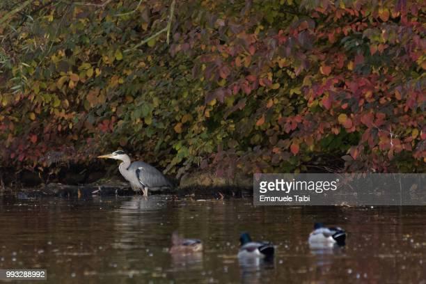 birds in the rheinaue, bonn, autumn 2015 - sumpf stock-fotos und bilder