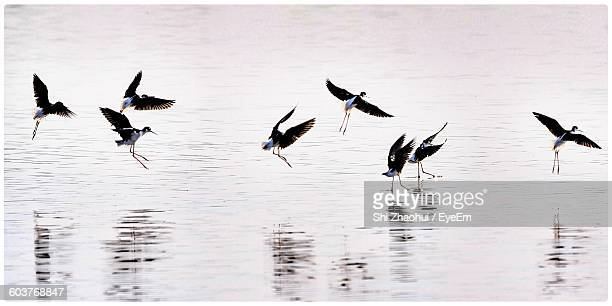 birds landing over lake - transfer image stock pictures, royalty-free photos & images