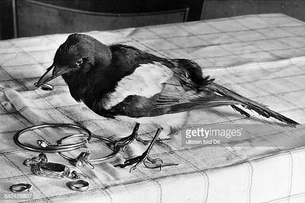 Birds Magpie with pieces of jewellery about 1932