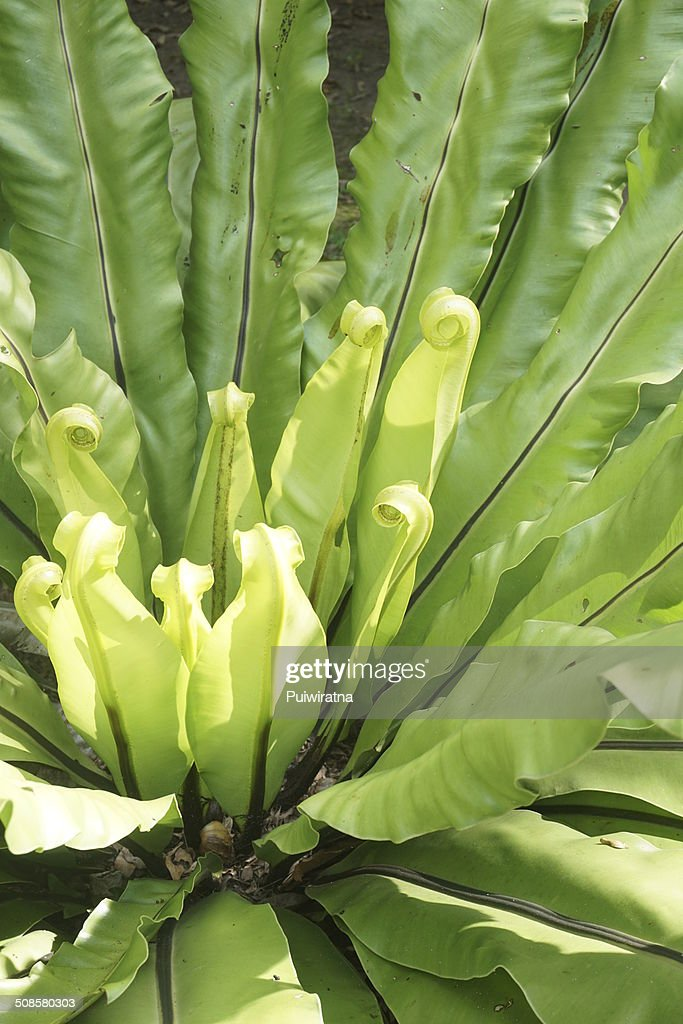 Bird's nest fern : Stock Photo