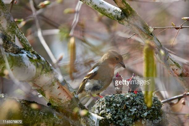 bird's nest: finch feeding the offspring - small group of animals stock pictures, royalty-free photos & images