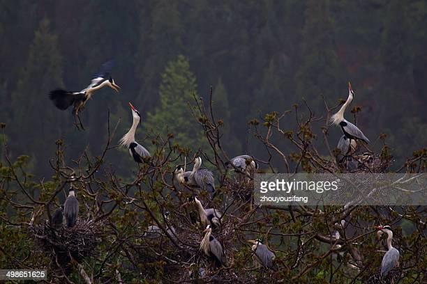 bird's nest of herns - provinz yunnan stock-fotos und bilder