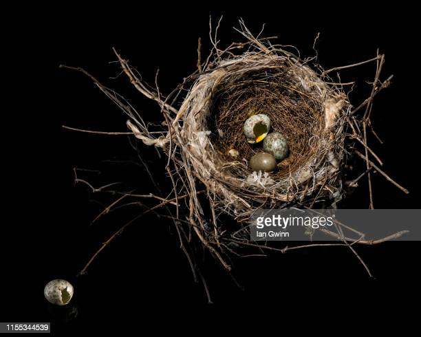 bird's nest - ian gwinn stock photos and pictures