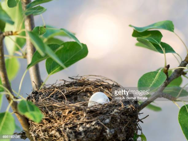 Bird's nest with eggs built on branches with leaves of a pear tree in the field