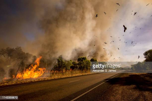 birds of fire - australia foto e immagini stock