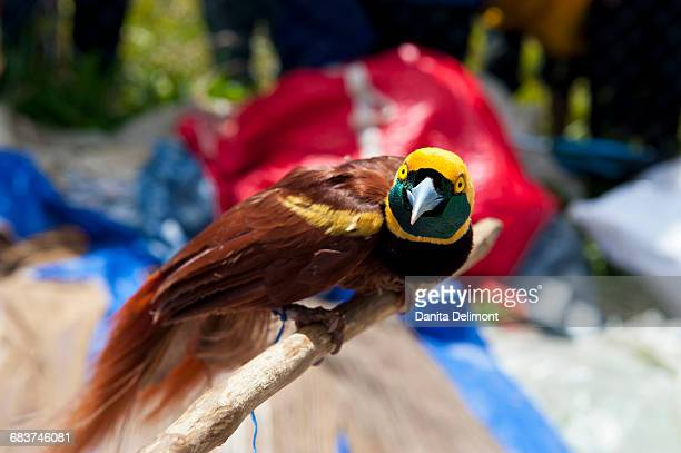 Birds of Paradise (Paradisaeidae) at traditional Sing Sing ceremony, Mount Hagen, Highlands, Papua New Guinea