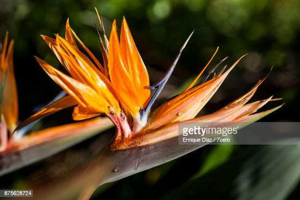 Birds of Paradise in Sunlight, NSW