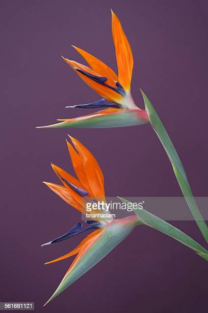 bird of paradise plant stock photos and pictures getty images