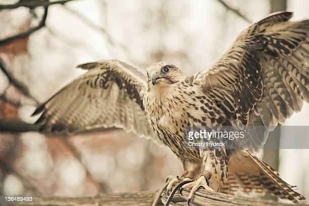 Birds of prey in flying pose
