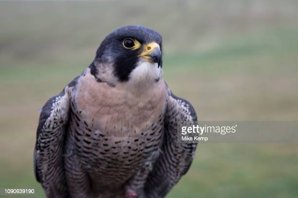 Birds of prey on show during a falconry display near StratforduponAvon England United Kingdom Here a Peregrine Falcon is on the falconers glove