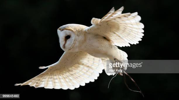 birds of prey - part 1 - barn owl stock pictures, royalty-free photos & images