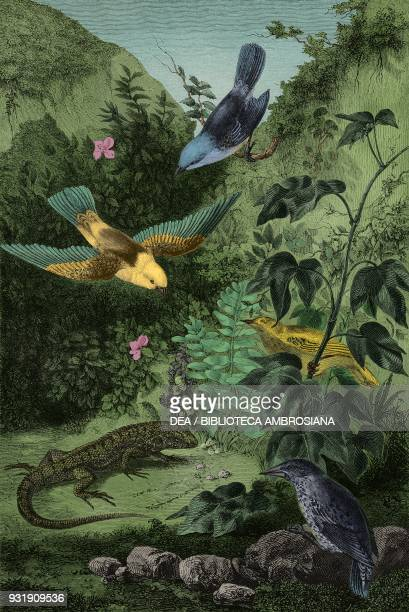 Birds of the Galapagos: Pyrocephalus nanus , Tenagra darwin , Sylvicola aureola , Coctarnis assimilis , drawing by Rouyer, from The Voyage of the...