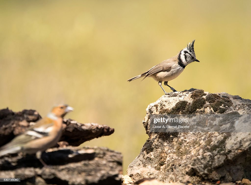 Birds Of The Species Of The Family Paridae Put On A Stone Close To A Branch With Flowers High Res Stock Photo Getty Images