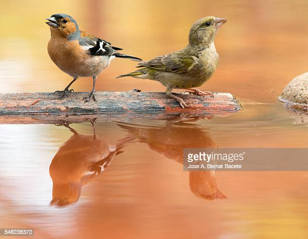 birds of the species, male chaffinch bird species , (fringilla coelebs ), of the family passeriformes. european greenfinch (chloris chloris), spain. - blue cardinal bird stock pictures, royalty-free photos & images