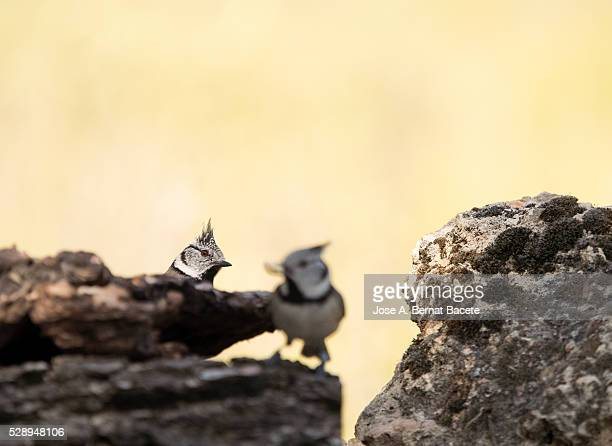 birds of the species (lophophanes cristatus ),of the family paridae. looking for food between trunks and stones - petechiae stock pictures, royalty-free photos & images