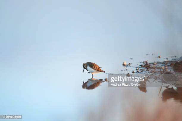 birds on a lake - andrea rizzi stock pictures, royalty-free photos & images