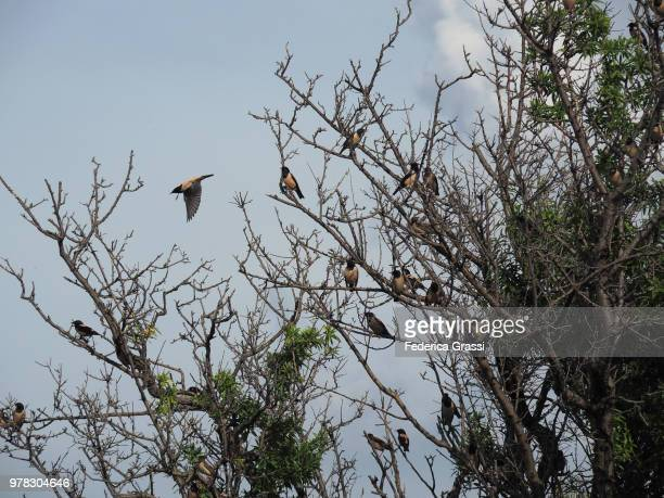 birds on a tree on pag island, dalmatia, croatia - olive orchard stock photos and pictures