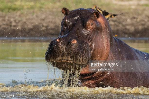 Birds on back of hippopotamus in water hole
