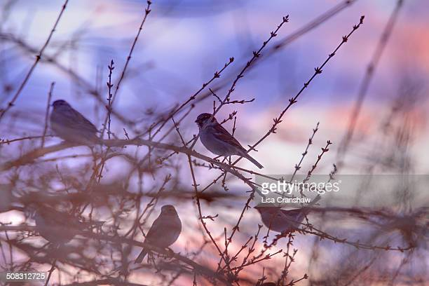 birds on branches at sunset - lisa cranshaw stock pictures, royalty-free photos & images