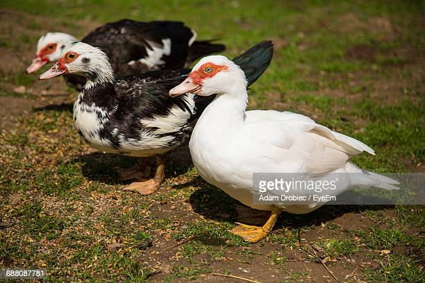 birds on grassy field - muscovy duck stock pictures, royalty-free photos & images