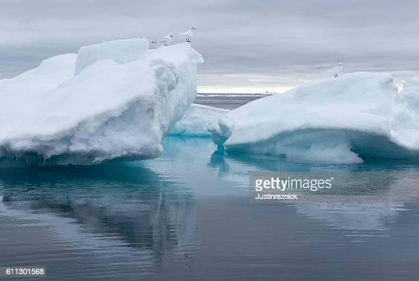 Birds on Pack Ice Arctic Ocean