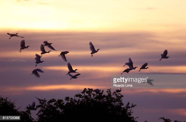birds over tapajos river - lima animal stock pictures, royalty-free photos & images
