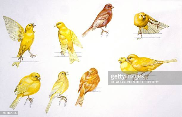 Birds Passeriformes Canaries behaviour and it's meanings
