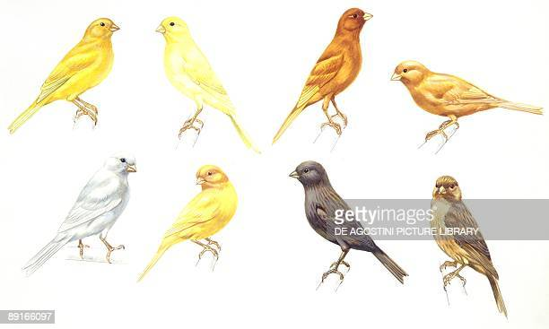 Birds Passeriformes Canaries Colorbred Canaries colour mutations illustration