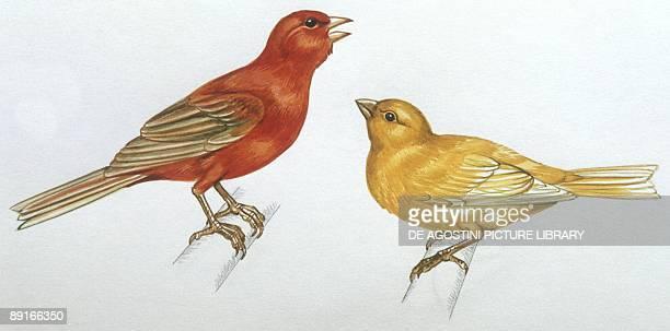 Birds Passeriformes Canaries illustration