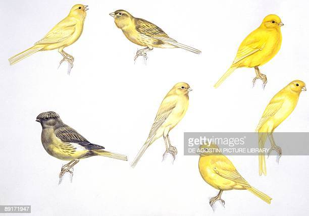 Birds Passeriformes Canaries Waterslager Roller Border Gloster Yorkshire Scotch Norwich illustration