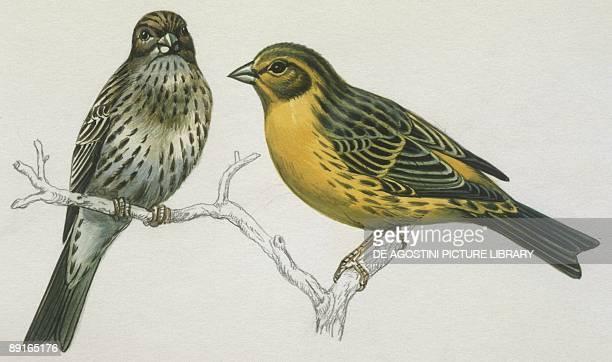 Birds Passeriformes Canary couple illustration