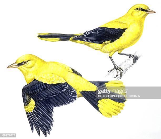 Birds Passeriformes Golden Oriole illustration