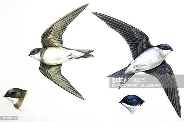 Birds Passeriformes Sand Martin and House Martin illustration
