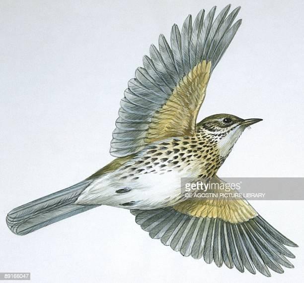Birds: Passeriformes, Song Thrush , illustration