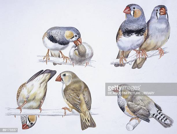 60 Top Zebra Finch Pictures, Photos, & Images - Getty Images