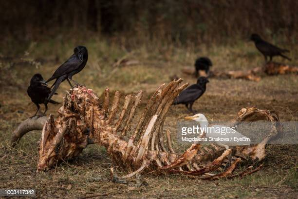 birds perching on animal skeleton at field - dead raven stock photos and pictures