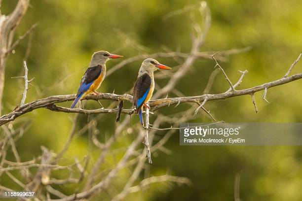 birds perching on branch - gray headed kingfisher stock pictures, royalty-free photos & images