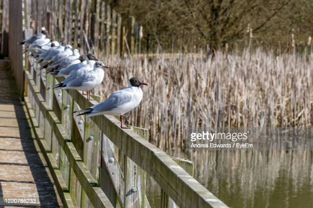 birds perching on railing by lake - luton stock pictures, royalty-free photos & images