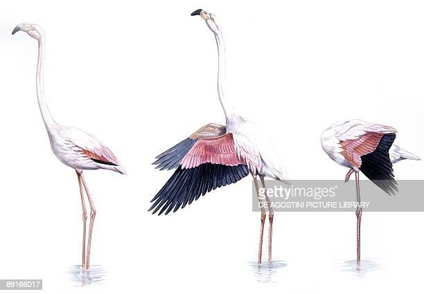 Birds Phoenicopteriformes American Flamingo ritual movements sequence flapping head saluting with wings preening illustration
