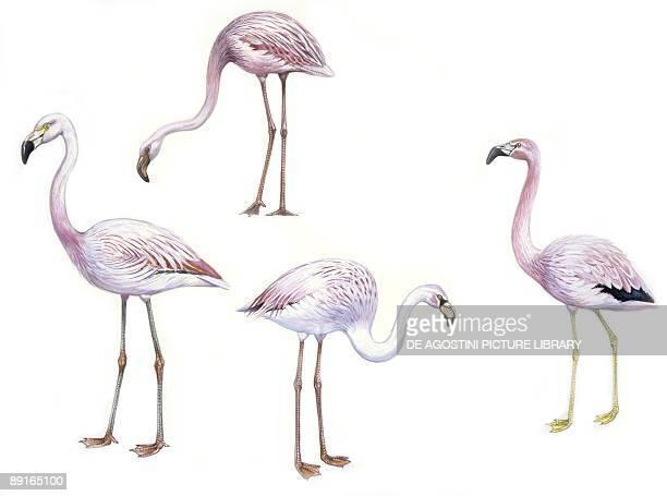 Birds Phoenicopteriformes Lesser Flamingo Chilean Flamingo James's Flamingo and Andean Flamingo illustration