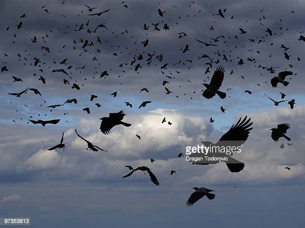 birds - crow stock pictures, royalty-free photos & images