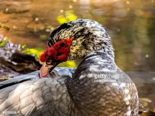 birds - muscovy duck stock pictures, royalty-free photos & images