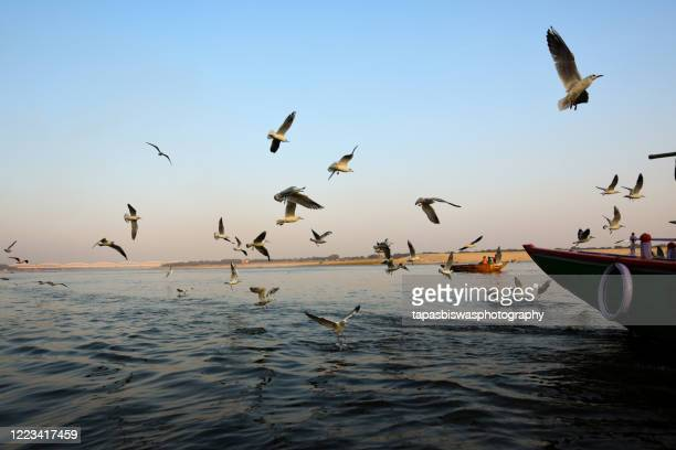 birds playing over water - river ganges stock pictures, royalty-free photos & images