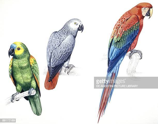 Birds Psittaciformes Bluefronted Amazon African Grey Parrot and Greenwinged Macaw or Redandgreen Macaw illustration