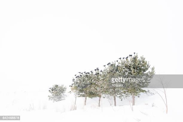 Birds put on pine trees in winter