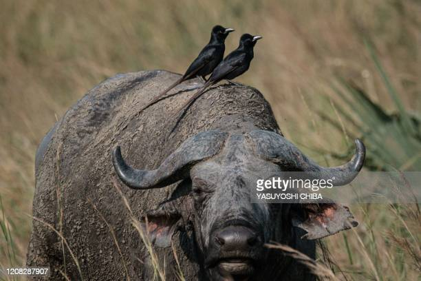 Birds sit on the back of a buffalo at the Murchison Falls National Park in northwest of Uganda on January 25 2020 When exploitable crude oil deposits...